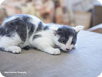 Domestic Shorthair Kitten for adoption in Marietta, Georgia - Stanley