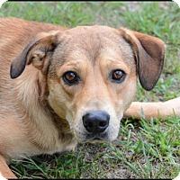 Adopt A Pet :: Brownie - Brick, NJ
