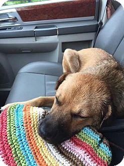 Shepherd (Unknown Type) Mix Dog for adoption in Columbus, Ohio - Ivy