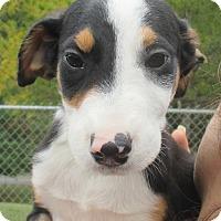 Cattle Dog Mix Puppy for adoption in Reeds Spring, Missouri - Kurt