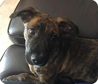 Terrier (Unknown Type, Medium) Mix Puppy for adoption in Royal Palm Beach, Florida - Harleigh