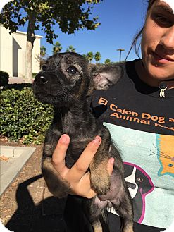 Yorkie, Yorkshire Terrier Mix Puppy for adoption in El Cajon, California - Two girls