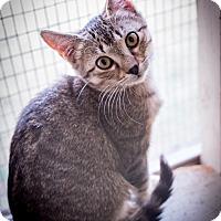 Domestic Shorthair Kitten for adoption in Leander, Texas - Minka
