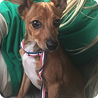 Adopt A Pet :: Peter Roo - Palm Harbor, FL