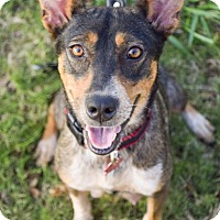 Adopt A Pet :: Brownie - DFW, TX
