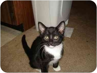 Domestic Mediumhair Kitten for adoption in Chandler, Arizona - abby