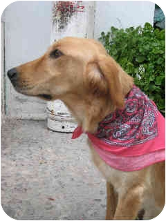 Golden Retriever Dog for adoption in Albuquerque, New Mexico - Baby