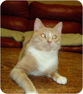 Domestic Shorthair Cat for adoption in Elmira, Ontario - Rocket