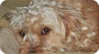Cairn Terrier Mix Dog for adoption in Norwalk, Connecticut - Bessie