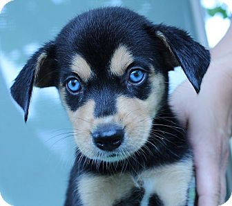 Image Result For Siberian Husky For Sale Nj