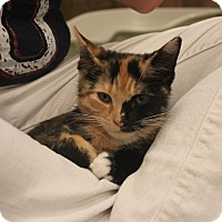 Calico Kitten for adoption in Smyrna, Georgia - Caliope