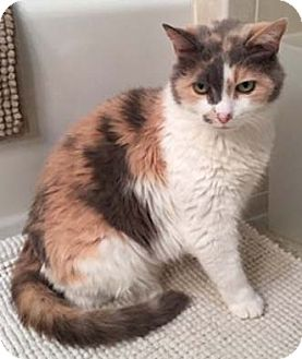 Calico Cat for adoption in Merrifield, Virginia - Gilda