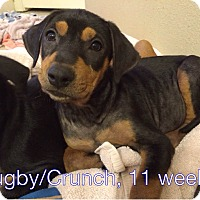 Adopt A Pet :: Rugby - West Hartford, CT