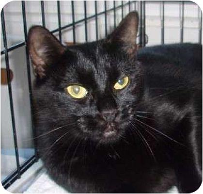 Domestic Shorthair Cat for adoption in Germansville, Pennsylvania - Darla