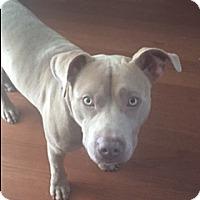 Adopt A Pet :: CHUCKIE (SS-DG) - Tampa, FL