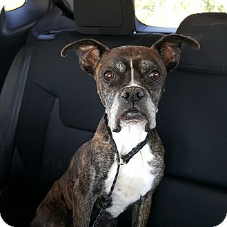 Boxer Dog for adoption in Austin, Texas - Inky