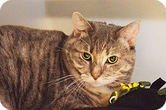 Domestic Shorthair Cat for adoption in Lincoln, Nebraska - Chloe Mae