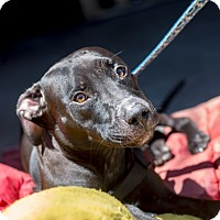 Labrador Retriever Mix Puppy for adoption in Bronx, New York - Midnight