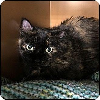 Domestic Mediumhair Cat for adoption in Colorado Springs, Colorado - Annie