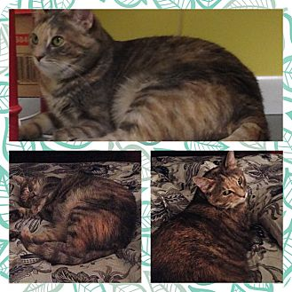 Domestic Shorthair Cat for adoption in Cincinnati, Ohio - Milly
