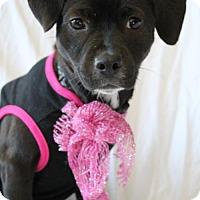 Terrier (Unknown Type, Medium)/Dachshund Mix Puppy for adoption in Kennesaw, Georgia - Iggy