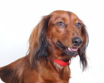 Dachshund Mix Dog for adoption in Sudbury, Massachusetts - Tank