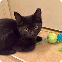 Adopt A Pet :: BellaCP - Carlisle, PA