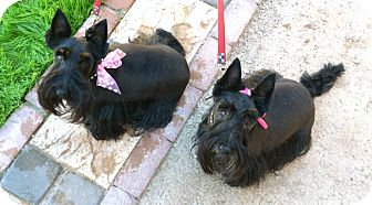Scottie, Scottish Terrier Dog for adoption in Phoenix, Arizona - Ruby & Pearl