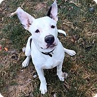 American Bulldog/Blue Heeler Mix Dog for adoption in Portland, Oregon - Bruno