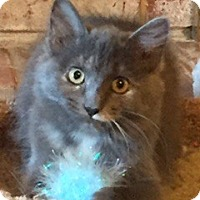Domestic Longhair Kitten for adoption in McKinney, Texas - Lucy