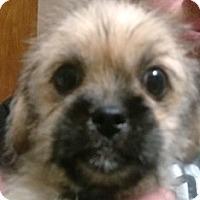 Adopt A Pet :: Rexx - Bloomington, IL