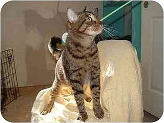 Domestic Shorthair Cat for adoption in Tomball, Texas - Nicky