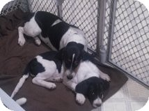 Basset Hound/Border Collie Mix Puppy for adoption in Alliance, Nebraska - Tundra