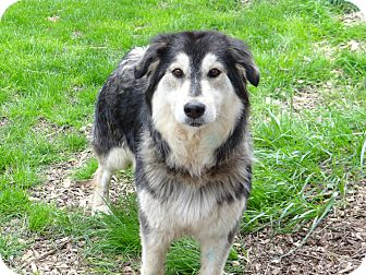Husky Dog for adoption in Salem, Oregon - Star