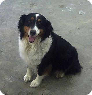 Australian Shepherd Dog for adoption in Elk River, Minnesota - Snickers