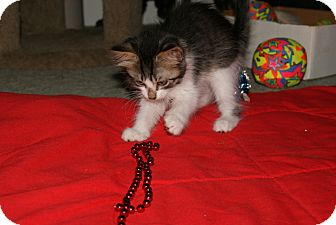 Domestic Longhair Kitten for adoption in Bensalem, Pennsylvania - Sheldon