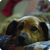 Adopt A Pet :: Scamp - Saskatoon, SK
