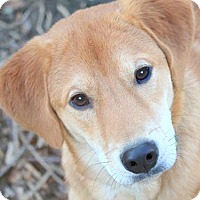 Adopt A Pet :: CHANCE(BEYOND ADORABLE LAB PUP - Wakefield, RI