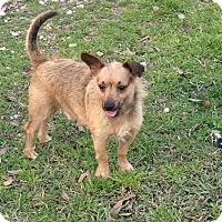 Cairn Terrier/Yorkie, Yorkshire Terrier Mix Dog for adoption in Baton Rouge, Louisiana - Ozzie