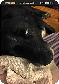 Australian Shepherd/Labrador Retriever Mix Dog for adoption in Raleigh, North Carolina - Poppie