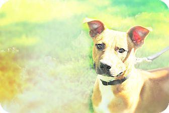 Pit Bull Terrier Mix Dog for adoption in Durham, North Carolina - Champ