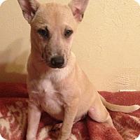 Miniature Pinscher Mix Puppy for adoption in Hagerstown, Maryland - Aubree