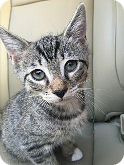 Domestic Shorthair Kitten for adoption in Foster, Rhode Island - Parsley (ETAA)