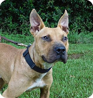 Pit Bull Terrier Mix Dog for adoption in St. Francisville, Louisiana - Toby