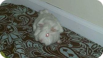 Guinea Pig for adoption in Aurora, Illinois - Cloud