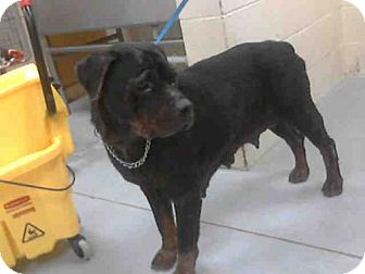 Rottweiler Mix Dog for adoption in Conroe, Texas - SISSY