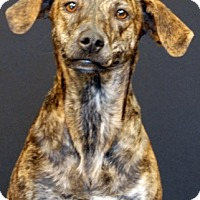 Plott Hound Mix Dog for adoption in Newland, North Carolina - Fancy