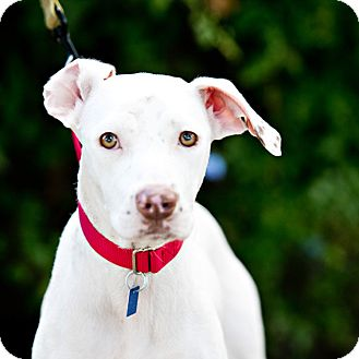 Dalmatian/Labrador Retriever Mix Dog for adoption in Houston, Texas - Marshmallow