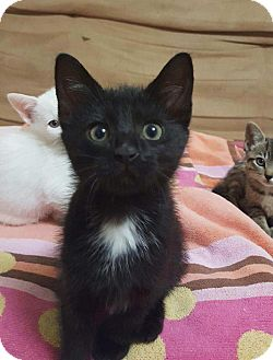 Domestic Shorthair Kitten for adoption in Nashville, Tennessee - Ember