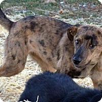 Adopt A Pet :: Abby Nicole - Lacon, IL